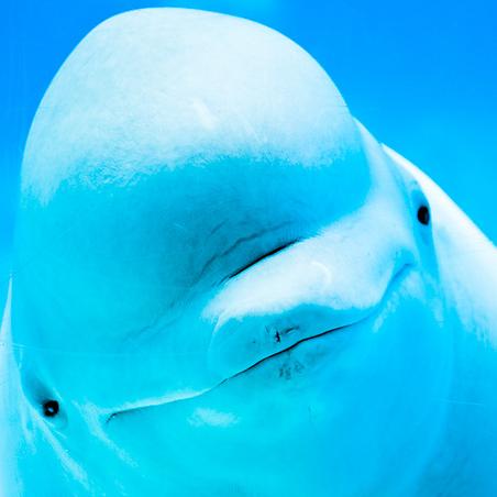 Belgua Whale