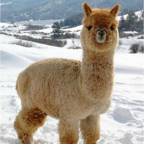 AlpacaFur Taylor's avatar
