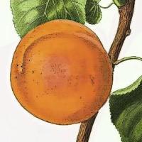 @apricot-lang