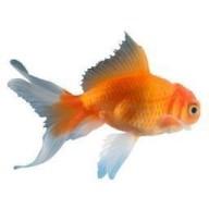 @goldfish