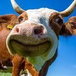 Cow Burton